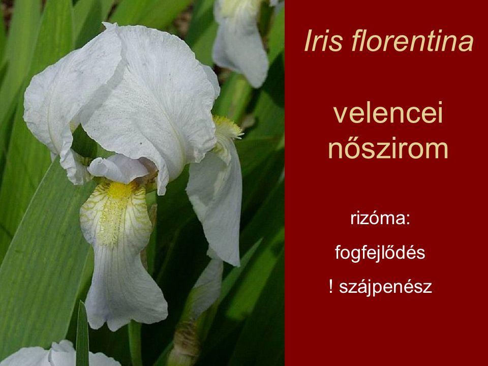 Iris florentina velencei nőszirom rizóma: fogfejlődés ! szájpenész