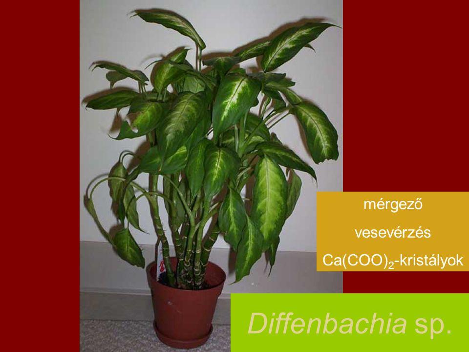 Diffenbachia sp. mérgező vesevérzés Ca(COO) 2 -kristályok