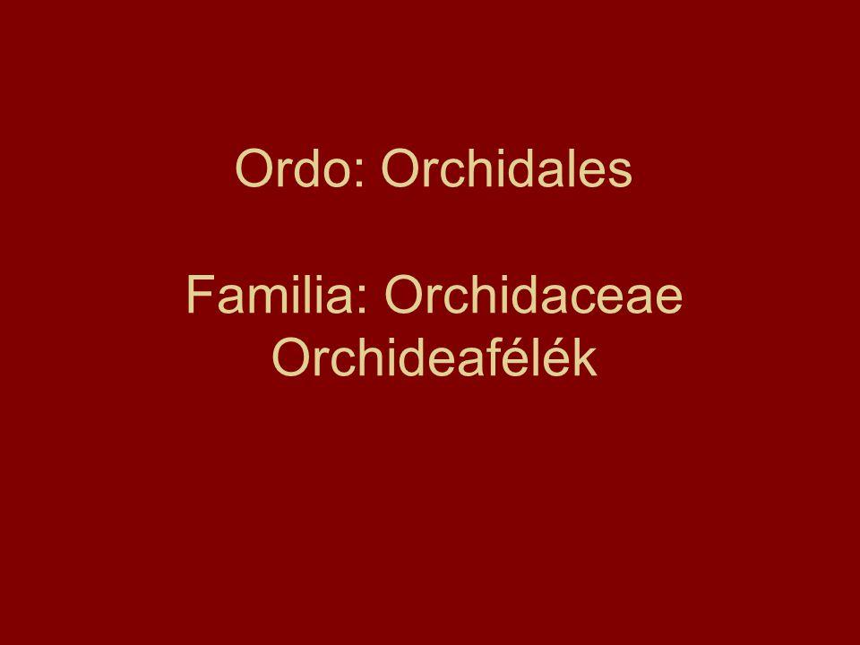 Ordo: Orchidales Familia: Orchidaceae Orchideafélék