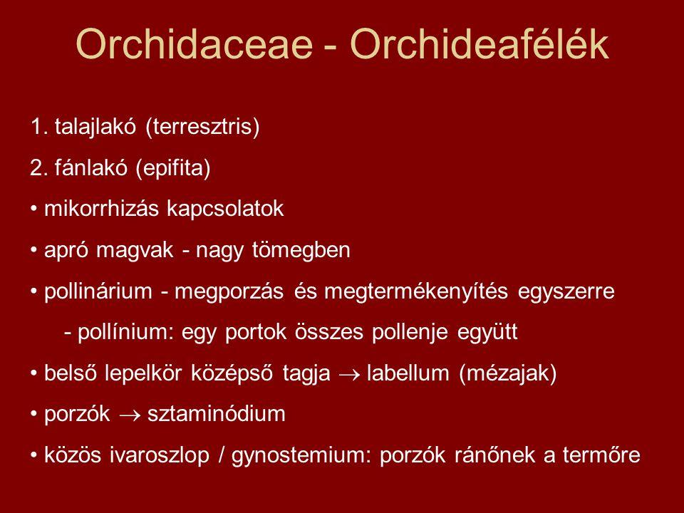 Orchidaceae - Orchideafélék 1. talajlakó (terresztris) 2. fánlakó (epifita) mikorrhizás kapcsolatok apró magvak - nagy tömegben pollinárium - megporzá