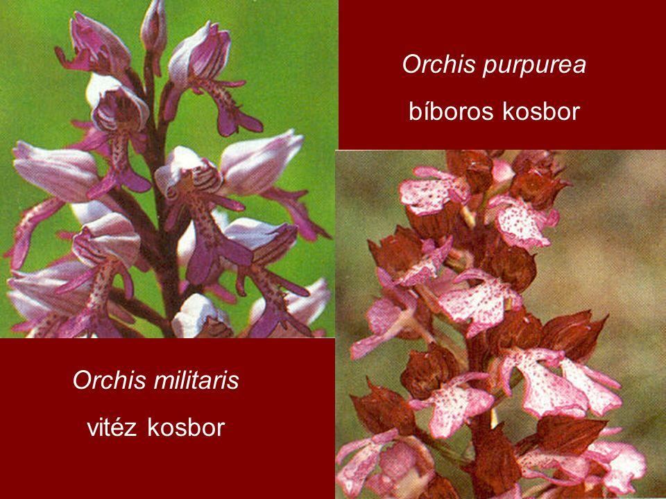 Orchis militaris vitéz kosbor Orchis purpurea bíboros kosbor