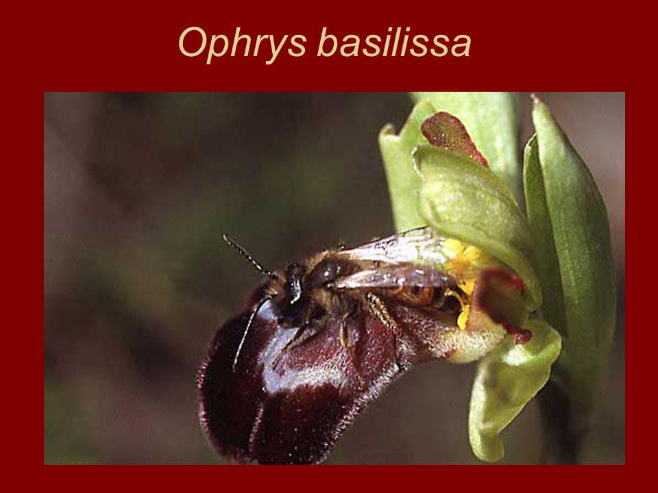 Ophrys basilissa