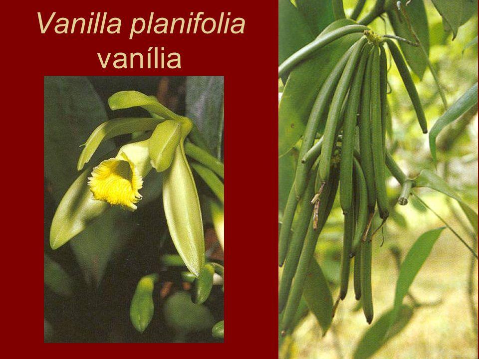 Vanilla planifolia vanília