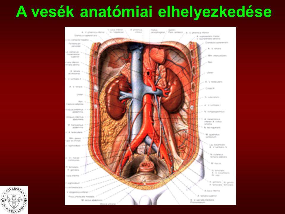 A vesék anatómiai elhelyezkedése
