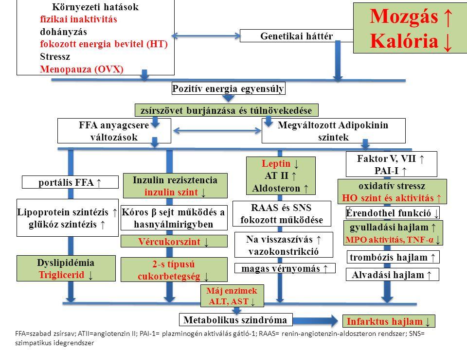 Környezeti hatások fizikai inaktivitás dohányzás fokozott energia bevitel (HT) Stressz Menopauza (OVX) Genetikai háttér Pozitív energia egyensúly zsírszövet burjánzása és túlnövekedése FFA anyagcsere változások Megváltozott Adipokinin szintek portális FFA ↑ Lipoprotein szintézis ↑ glükóz szintézis ↑ Dyslipidémia Triglicerid ↓ Inzulin rezisztencia inzulin szint ↓ Kóros β sejt működés a hasnyálmirigyben Vércukorszint ↓ 2-s típusú cukorbetegség ↓ Leptin ↓ AT II ↑ Aldosteron ↑ RAAS és SNS fokozott működése Na visszaszívás ↑ vazokonstrikció magas vérnyomás ↑ oxidatív stressz HO szint és aktivitás ↑ trombózis hajlam ↑ Alvadási hajlam ↑ Faktor V, VII ↑ PAI-I ↑ Metabolikus szindróma FFA=szabad zsírsav; ATII=angiotenzin II; PAI-1= plazminogén aktiválás gátló-1; RAAS= renin-angiotenzin-aldoszteron rendszer; SNS= szimpatikus idegrendszer Infarktus hajlam ↓ Máj enzimek ALT, AST ↓ Érendothel funkció ↓ gyulladási hajlam ↑ MPO aktivitás, TNF-α ↓ Mozgás ↑ Kalória ↓