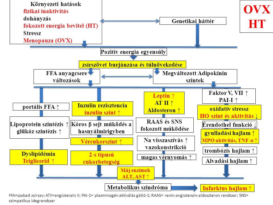 Környezeti hatások fizikai inaktivitás dohányzás fokozott energia bevitel (HT) Stressz Menopauza (OVX) Genetikai háttér Pozitív energia egyensúly zsírszövet burjánzása és túlnövekedése FFA anyagcsere változások Megváltozott Adipokinin szintek portális FFA ↑ Lipoprotein szintézis ↑ glükóz szintézis ↑ Dyslipidémia Triglicerid ↑ Inzulin rezisztencia inzulin szint ↑ Kóros β sejt működés a hasnyálmirigyben Vércukorszint ↑ 2-s típusú cukorbetegség Leptin ↑ AT II ↑ Aldosteron ↑ RAAS és SNS fokozott működése Na visszaszívás ↑ vazokonstrikció magas vérnyomás ↑ oxidatív stressz HO szint és aktivitás ↓ trombózis hajlam ↑ Alvadási hajlam ↑ Faktor V, VII ↑ PAI-I ↑ Metabolikus szindróma FFA=szabad zsírsav; ATII=angiotenzin II; PAI-1= plazminogén aktiválás gátló-1; RAAS= renin-angiotenzin-aldoszteron rendszer; SNS= szimpatikus idegrendszer Infarktus hajlam ↑ Máj enzimek ALT, AST ↑ Érendothel funkció ↓ gyulladási hajlam ↑ MPO aktivitás, TNF-α ↑ OVX HT