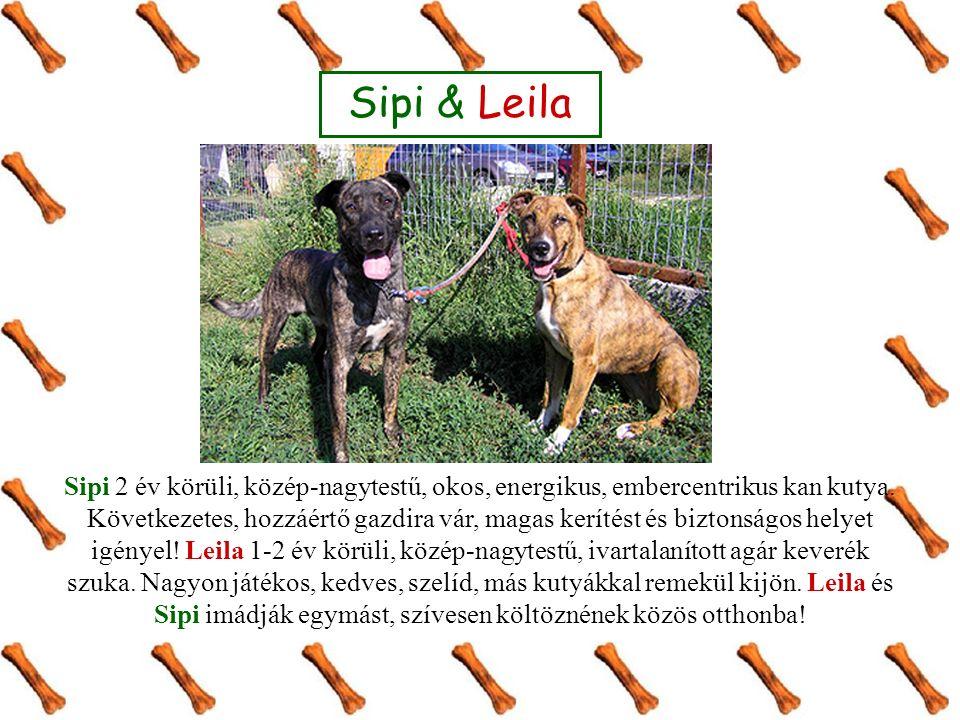 Sipi & Leila Sipi 2 év körüli, közép-nagytestű, okos, energikus, embercentrikus kan kutya. Következetes, hozzáértő gazdira vár, magas kerítést és bizt