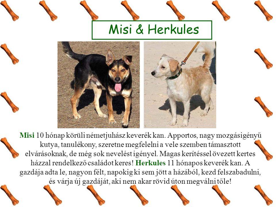 Misi & Herkules Misi 10 hónap körüli németjuhász keverék kan. Apportos, nagy mozgásigényű kutya, tanulékony, szeretne megfelelni a vele szemben támasz