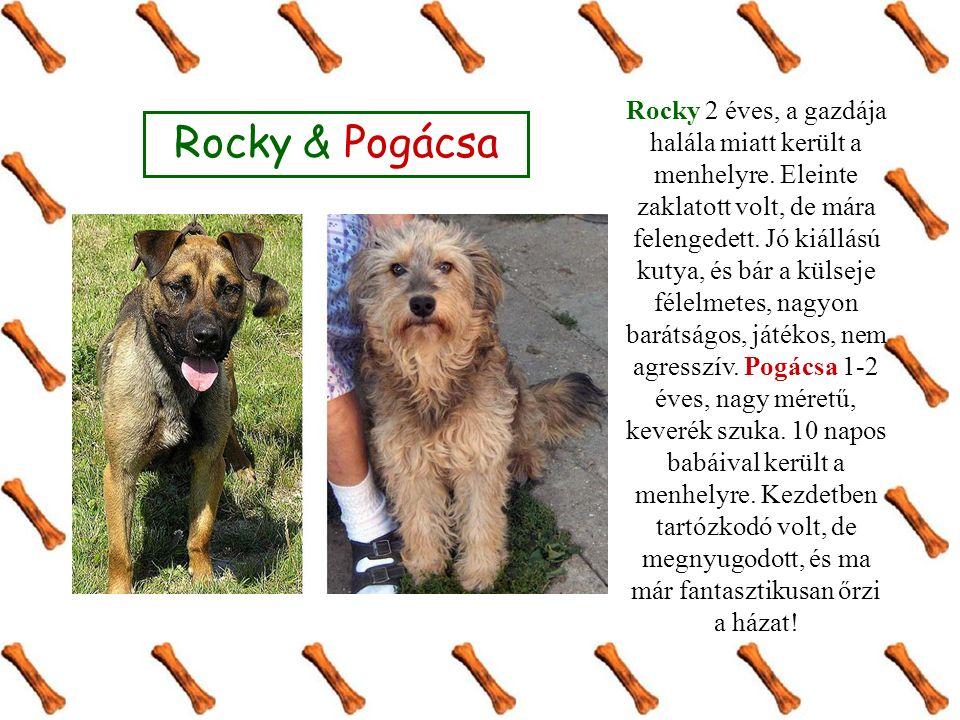 Rocky 2 éves, a gazdája halála miatt került a menhelyre. Eleinte zaklatott volt, de mára felengedett. Jó kiállású kutya, és bár a külseje félelmetes,