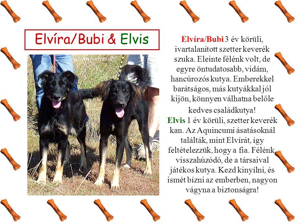 Elvíra/Bubi & Elvis Elvíra/Bubi 3 év körüli, ivartalanított szetter keverék szuka. Eleinte félénk volt, de egyre öntudatosabb, vidám, hancúrozós kutya