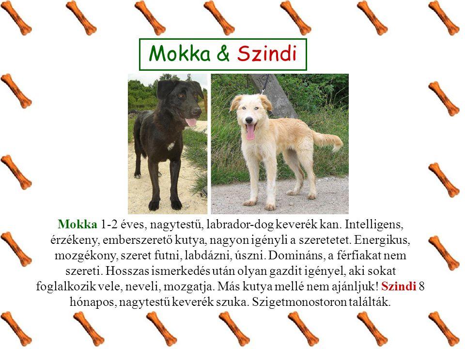 Mokka & Szindi Mokka 1-2 éves, nagytestű, labrador-dog keverék kan. Intelligens, érzékeny, emberszerető kutya, nagyon igényli a szeretetet. Energikus,