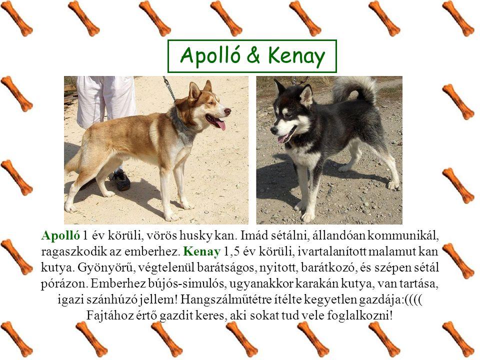 Apolló & Kenay Apolló 1 év körüli, vörös husky kan. Imád sétálni, állandóan kommunikál, ragaszkodik az emberhez. Kenay 1,5 év körüli, ivartalanított m