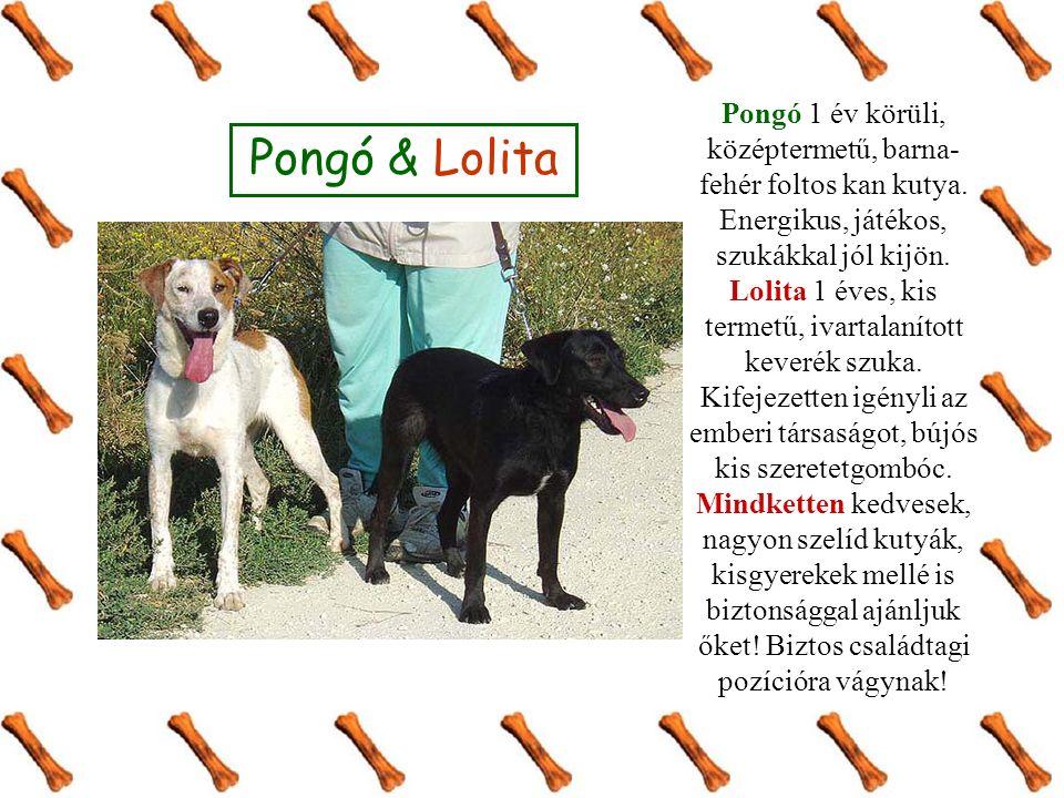 Pongó & Lolita Pongó 1 év körüli, középtermetű, barna- fehér foltos kan kutya.