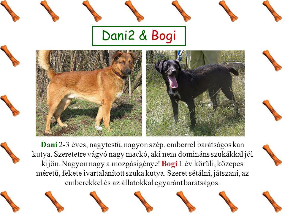 Dani2 & Bogi Dani 2-3 éves, nagytestű, nagyon szép, emberrel barátságos kan kutya. Szeretetre vágyó nagy mackó, aki nem domináns szukákkal jól kijön.