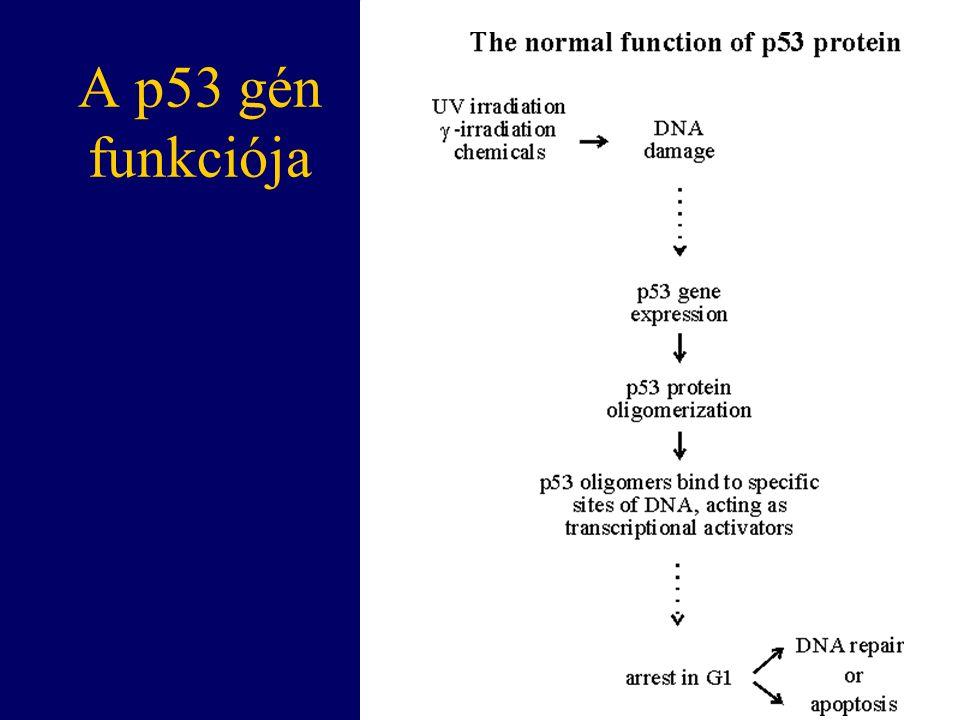 A p53 gén funkciója