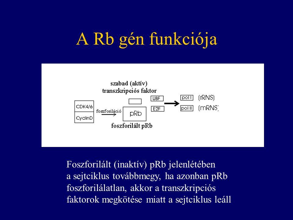 A Rb gén funkciója Foszforilált (inaktív) pRb jelenlétében a sejtciklus továbbmegy, ha azonban pRb foszforilálatlan, akkor a transzkripciós faktorok megkötése miatt a sejtciklus leáll