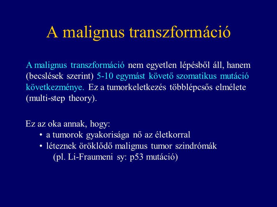 A malignus transzformáció A malignus transzformáció nem egyetlen lépésből áll, hanem (becslések szerint) 5-10 egymást követő szomatikus mutáció következménye.
