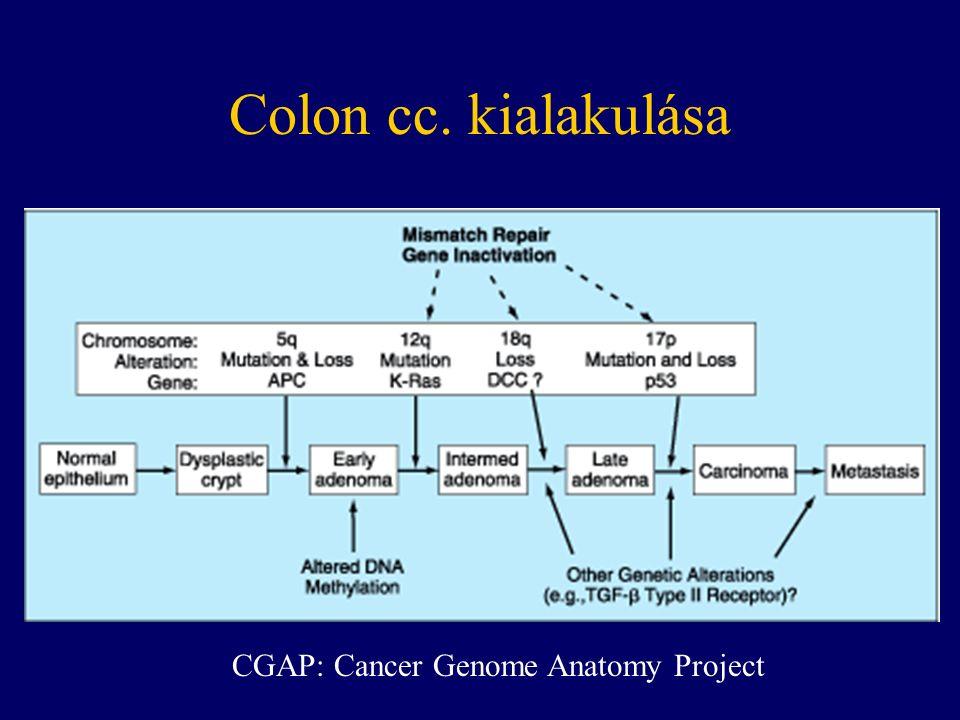 A malignus transzformáció által érintett gének proto-onkogének tumor szuppresszor gének DNS javító gének apoptózist szabályozó gének