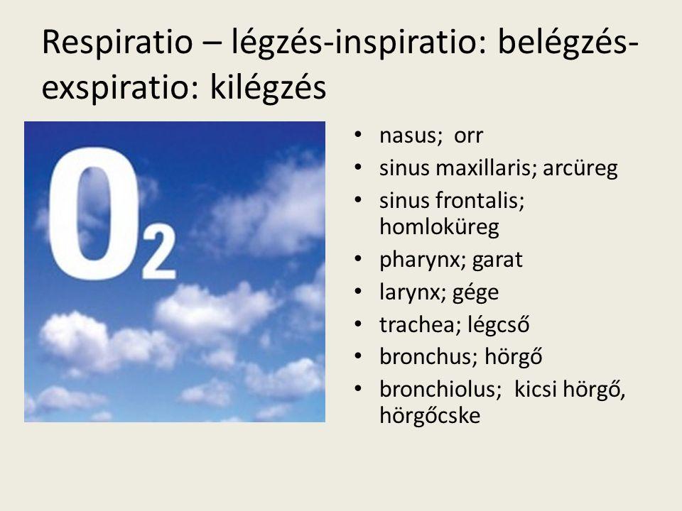Respiratio – légzés-inspiratio: belégzés- exspiratio: kilégzés nasus; orr sinus maxillaris; arcüreg sinus frontalis; homloküreg pharynx; garat larynx; gége trachea; légcső bronchus; hörgő bronchiolus; kicsi hörgő, hörgőcske