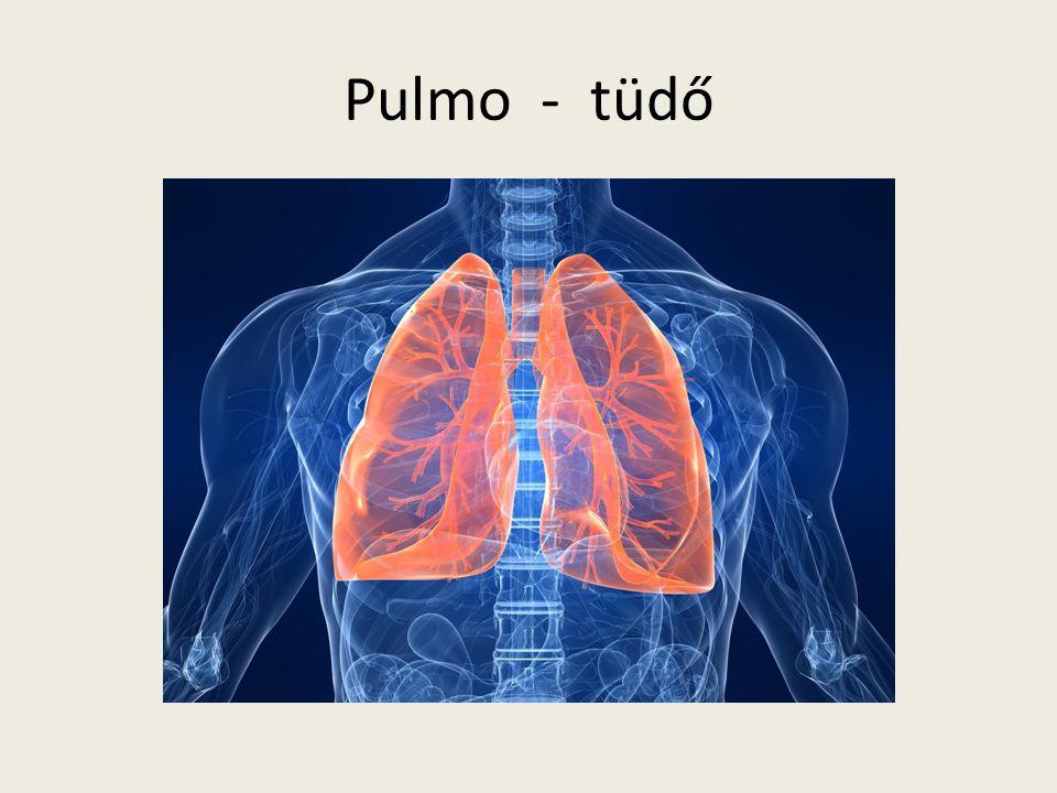 Pulmo - tüdő