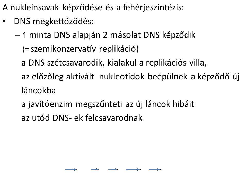 A nukleinsavak képződése és a fehérjeszintézis: DNS megkettőződés: – 1 minta DNS alapján 2 másolat DNS képződik (= szemikonzervatív replikáció) a DNS