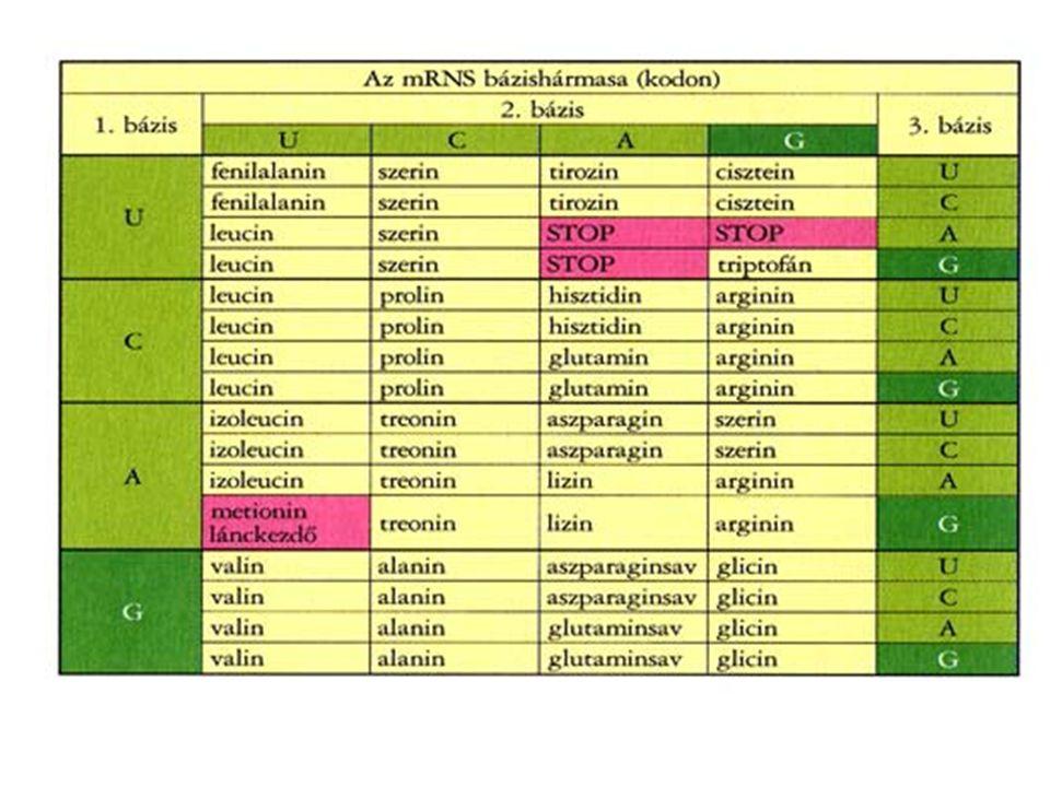 kromoszóma kromo= színes, szóma= test (jól festődő test) – az eukarióta sejtre jellemző képződmény – a sejtosztódás kezdetén jelenik meg a sejtmagban – az interfázisban (a sejtosztódást megelőző főszakaszban) még laza szerkezetű kromatidák (= kromatinfonalak) tömör, kromoszómaszerkezetet vesznek fel – kromatida: DNS molekula a hozzá kapcsolódó fehérje molekulákkal (hiszton és nem hiszton fehérjékkel) a kromatidák a kromatinállományt képezik a sejtmag- ban