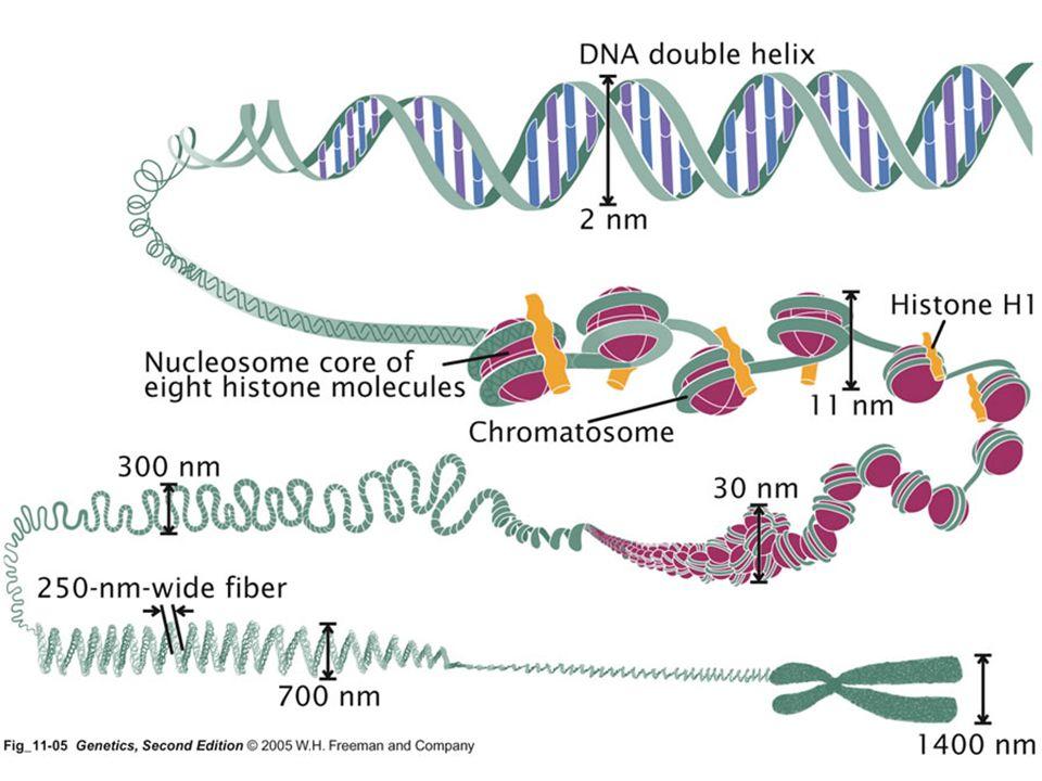 Homológ kromoszóma: - egy adott kromoszómapár kromoszómája, a párjával azonos alakú, méretű és géntartalmú (de az alléltartalmuk eltérő)