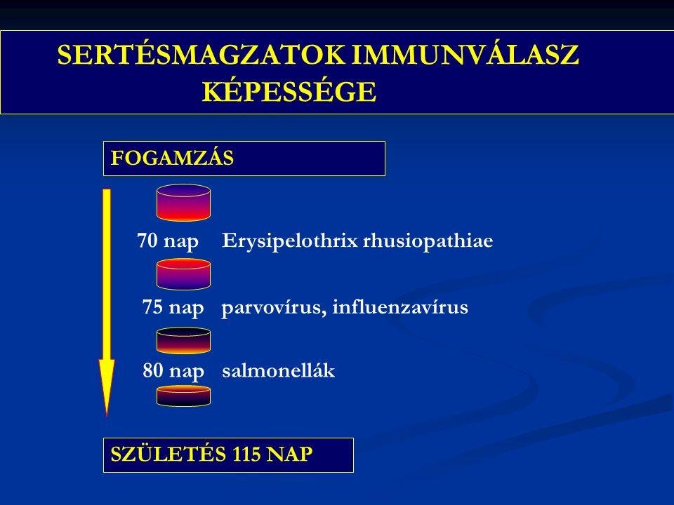 SERTÉSMAGZATOK IMMUNVÁLASZ KÉPESSÉGE FOGAMZÁS 70 nap Erysipelothrix rhusiopathiae 75 nap parvovírus, influenzavírus 80 nap salmonellák SZÜLETÉS 115 NAP