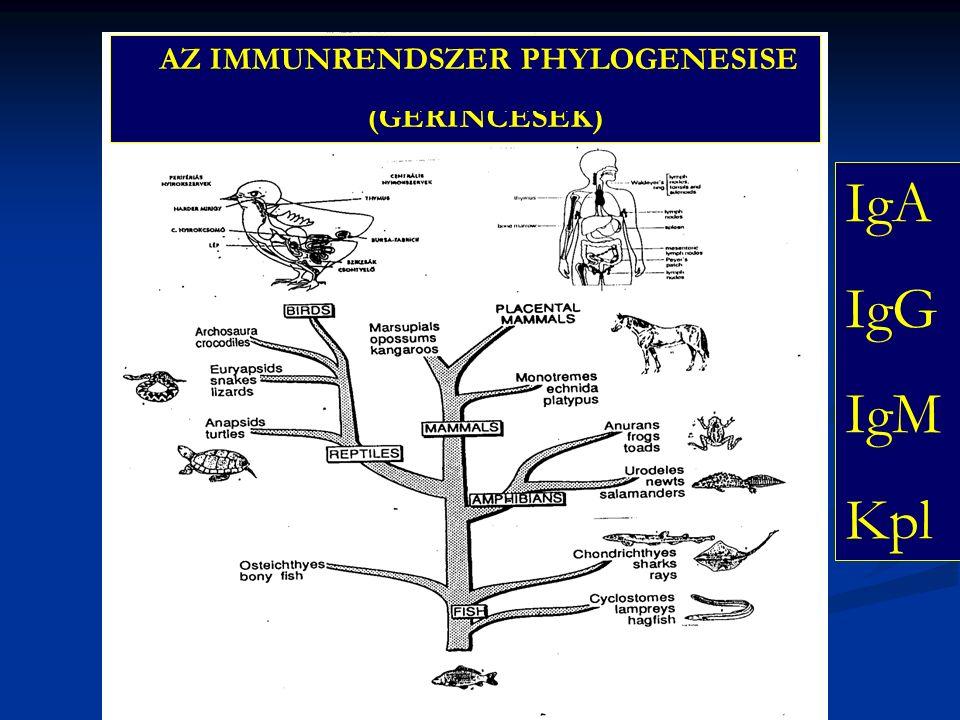 AZ IMMUNRENDSZER PHYLOGENESISE (GERINCESEK) IgA IgG IgM Kpl