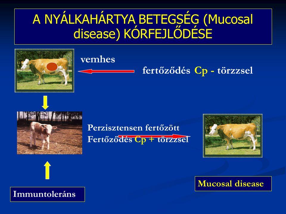 A NYÁLKAHÁRTYA BETEGSÉG (Mucosal disease) KÓRFEJLŐDÉSE fertőződés Cp - törzzsel Immuntoleráns Perzisztensen fertőzött Fertőződés Cp + törzzsel Mucosal disease vemhes