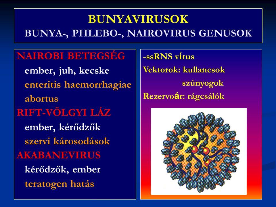 BUNYAVIRUSOK BUNYA-, PHLEBO-, NAIROVIRUS GENUSOK NAIROBI BETEGSÉG ember, juh, kecske enteritis haemorrhagiae abortus RIFT-VÖLGYI LÁZ ember, kérődzők szervi károsodások AKABANEVIRUS kérődzők, ember teratogen hatás -ssRNS v í rus Vektorok: kullancsok szúnyogok Rezervo á r: rágcsálók
