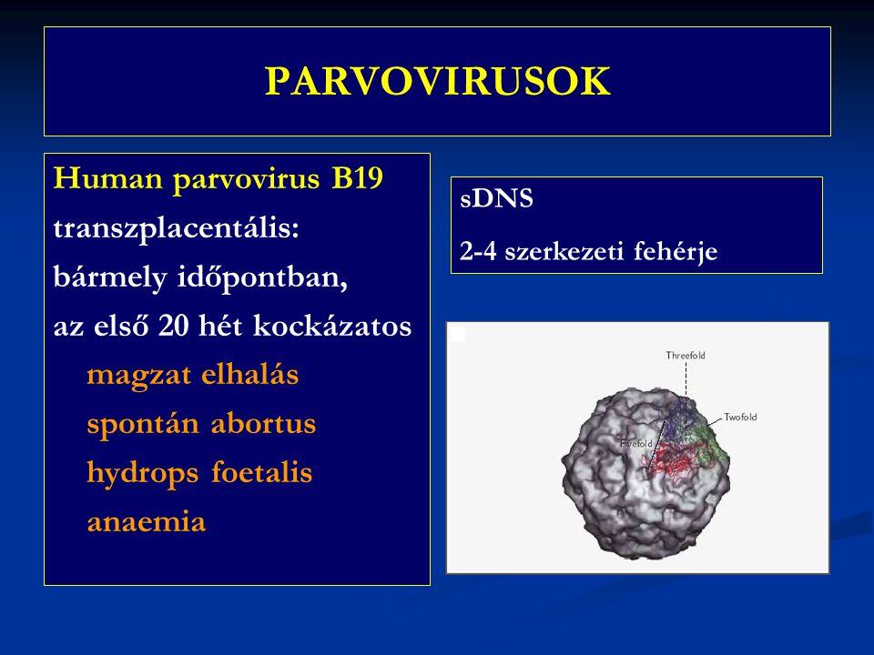 PARVOVIRUSOK Human parvovirus B19 transzplacentális: bármely időpontban, az első 20 hét kockázatos magzat elhalás spontán abortus hydrops foetalis anaemia sDNS 2-4 szerkezeti fehérje