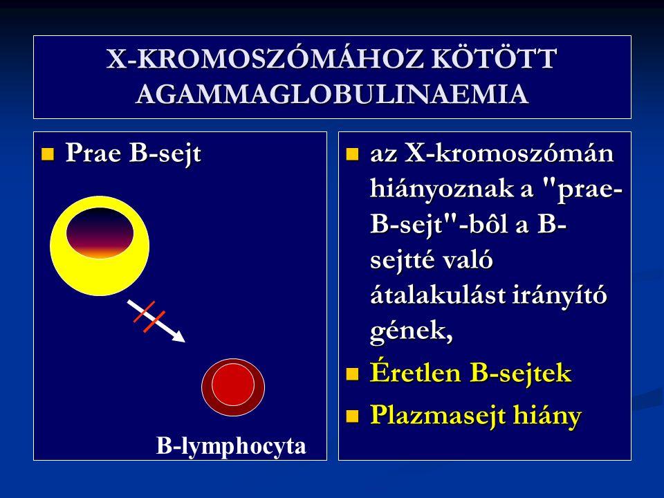 X-KROMOSZÓMÁHOZ KÖTÖTT AGAMMAGLOBULINAEMIA Prae B-sejt Prae B-sejt az X-kromoszómán hiányoznak a prae- B-sejt -bôl a B- sejtté való átalakulást irányító gének, az X-kromoszómán hiányoznak a prae- B-sejt -bôl a B- sejtté való átalakulást irányító gének, Éretlen B-sejtek Éretlen B-sejtek Plazmasejt hiány Plazmasejt hiány B-lymphocyta