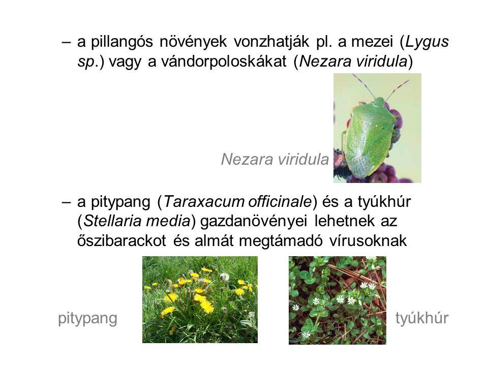 Alternatívák –mustár –pohánka –kisebb termetű cirkok –az ernyősök és fészkesek több faja támogatja a hasznos rovarok megjelenését anélkül, hogy a kártevőket és kórokozókat vonzanák pohánka / hajdina mustár