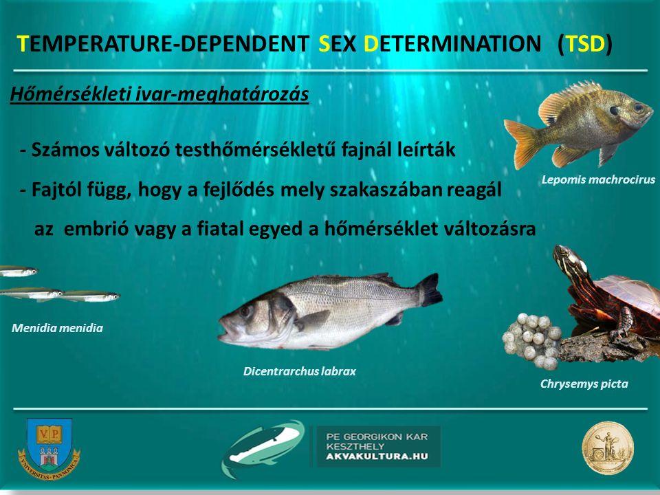 TEMPERATURE-DEPENDENT SEX DETERMINATION (TSD) Hőmérsékleti ivar-meghatározás - Számos változó testhőmérsékletű fajnál leírták - Fajtól függ, hogy a fejlődés mely szakaszában reagál az embrió vagy a fiatal egyed a hőmérséklet változásra Dicentrarchus labrax Chrysemys picta Menidia menidia Lepomis machrocirus