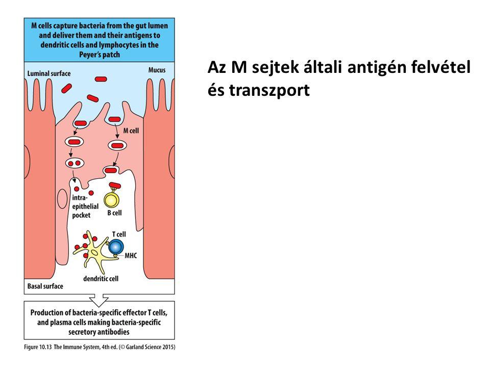 Az M sejtek általi antigén felvétel és transzport