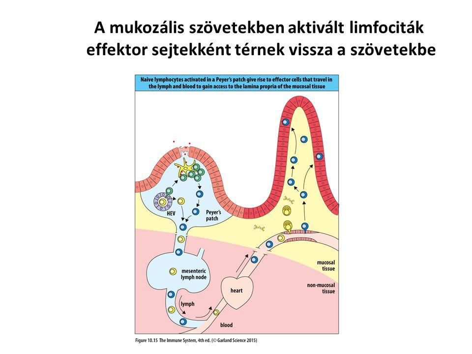 A mukozális szövetekben aktivált limfociták effektor sejtekként térnek vissza a szövetekbe