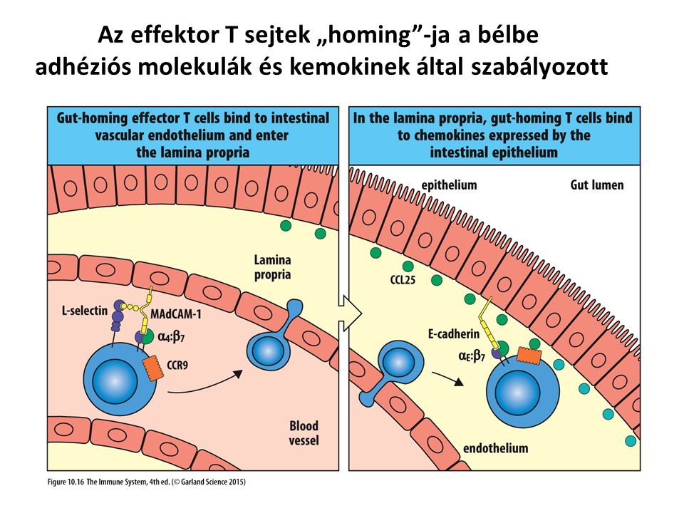 A Th17 sejtek szerepe a mukozális fertőzések leküzdésében Production of antimicrobial peptides Th17 activation Secretion of chemokines Infiltration of phagocytes, Cytokine secretion Differentiation of Th17 cells