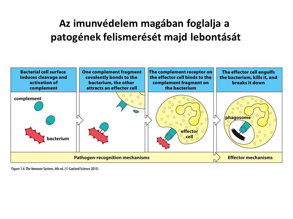 Az imunvédelem magában foglalja a patogének felismerését majd lebontását