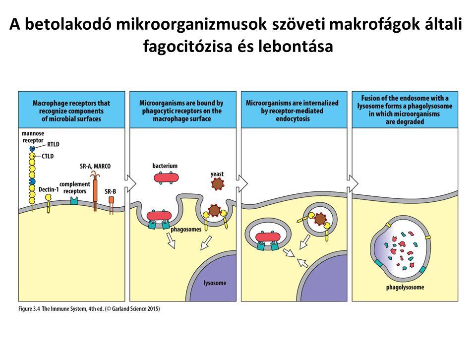 A betolakodó mikroorganizmusok szöveti makrofágok általi fagocitózisa és lebontása