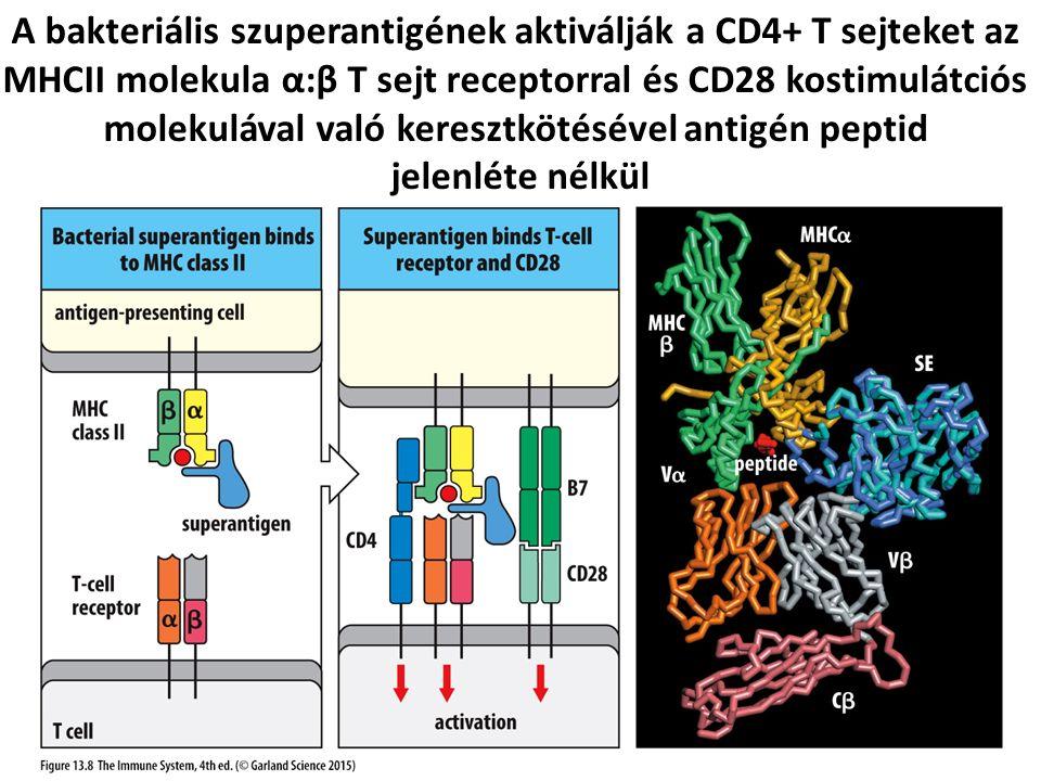 A bakteriális szuperantigének aktiválják a CD4+ T sejteket az MHCII molekula α:β T sejt receptorral és CD28 kostimulátciós molekulával való keresztkötésével antigén peptid jelenléte nélkül