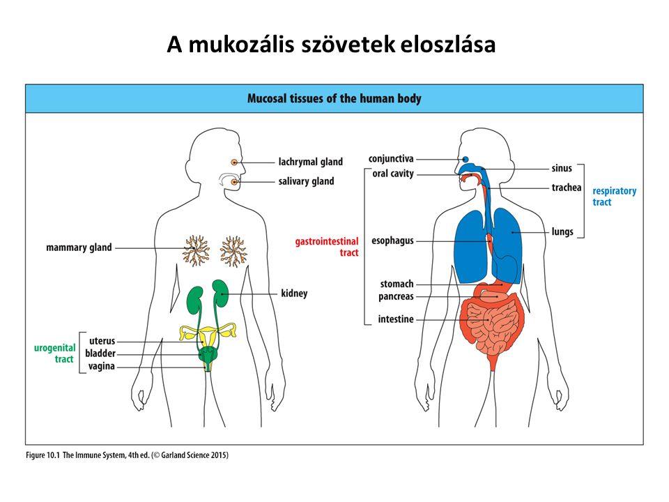 A mukozális szövetek eloszlása