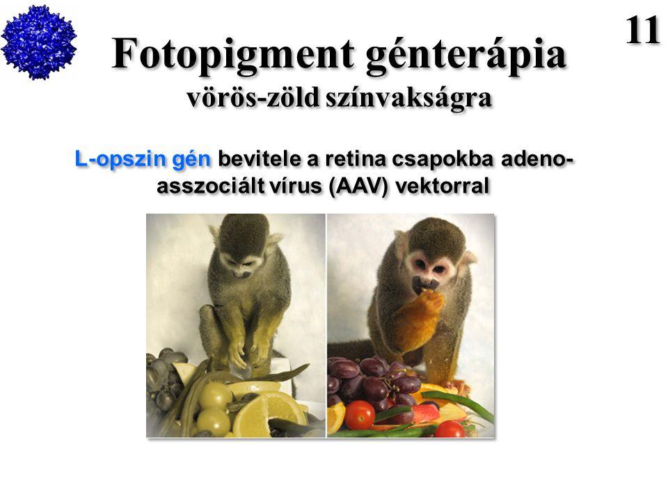 Fotopigment génterápia vörös-zöld színvakságra Fotopigment génterápia vörös-zöld színvakságra L-opszin gén bevitele a retina csapokba adeno- asszociált vírus (AAV) vektorral 11