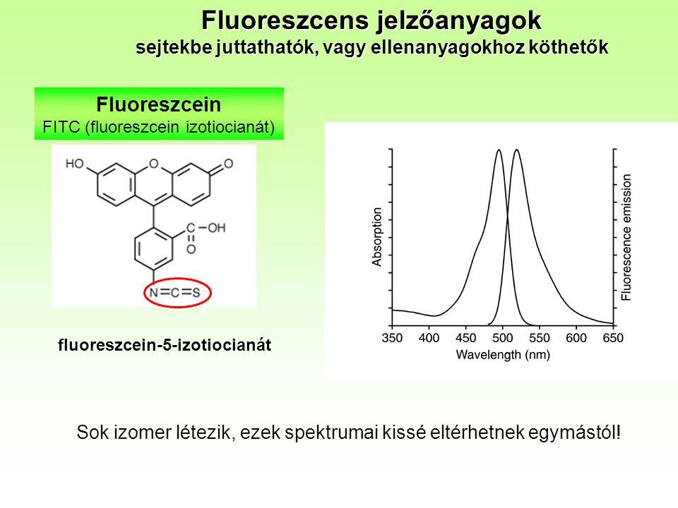 Fluoreszcein FITC (fluoreszcein izotiocianát) fluoreszcein-5-izotiocianát Fluoreszcens jelzőanyagok sejtekbe juttathatók, vagy ellenanyagokhoz köthetők Sok izomer létezik, ezek spektrumai kissé eltérhetnek egymástól!