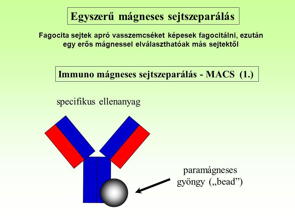 """Immuno mágneses sejtszeparálás - MACS (1.) paramágneses gyöngy (""""bead ) specifikus ellenanyag Egyszerű mágneses sejtszeparálás Fagocita sejtek apró vasszemcséket képesek fagocitálni, ezután egy erős mágnessel elválaszthatóak más sejtektől"""