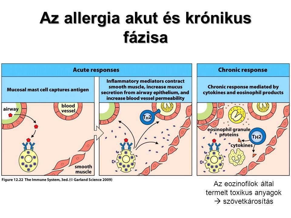 Az allergia akut és krónikus fázisa Az eozinofilok által termelt toxikus anyagok  szövetkárosítás
