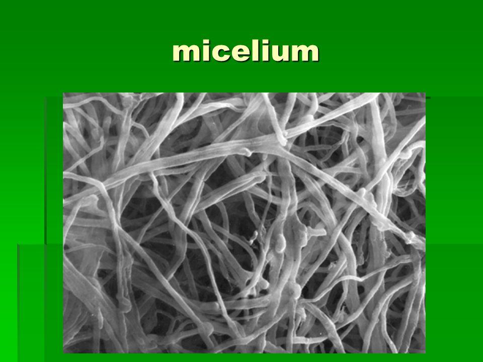 micelium