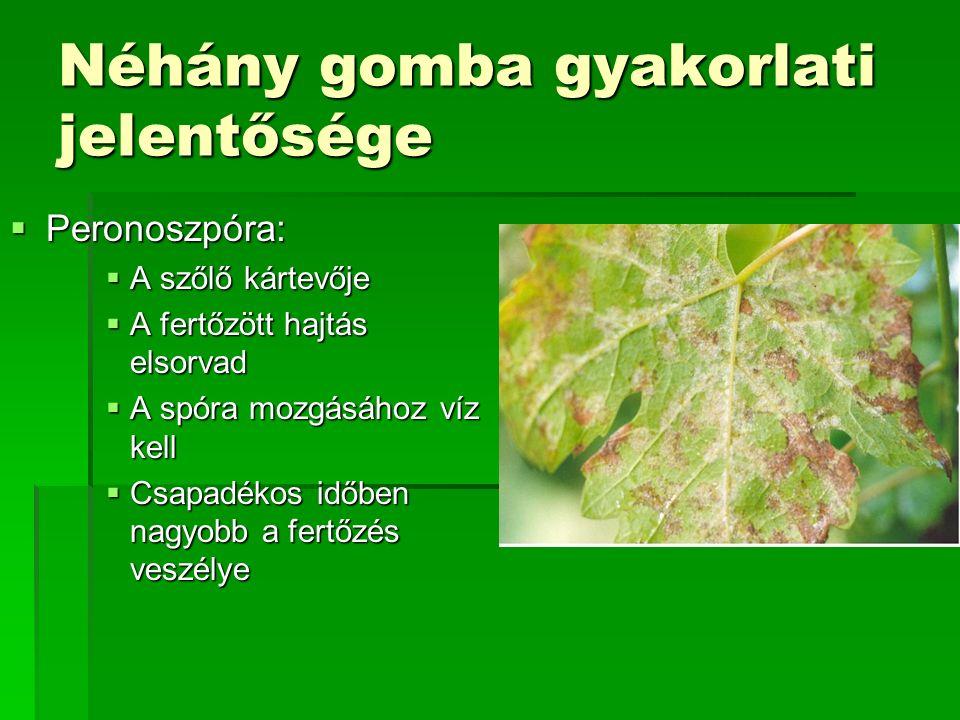 Néhány gomba gyakorlati jelentősége  Peronoszpóra:  A szőlő kártevője  A fertőzött hajtás elsorvad  A spóra mozgásához víz kell  Csapadékos időbe