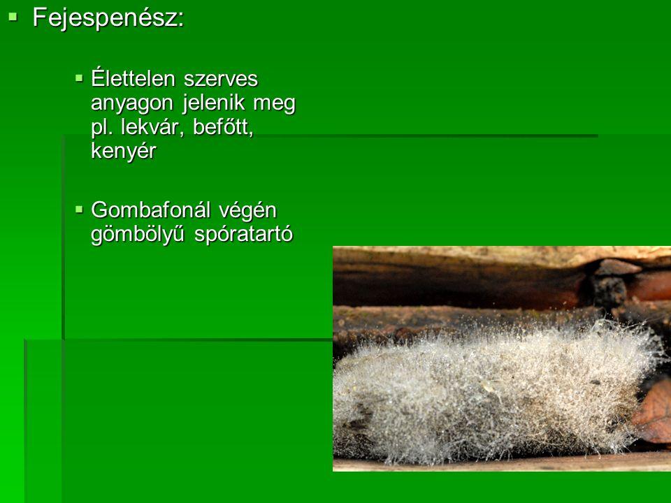  Fejespenész:  Élettelen szerves anyagon jelenik meg pl. lekvár, befőtt, kenyér  Gombafonál végén gömbölyű spóratartó