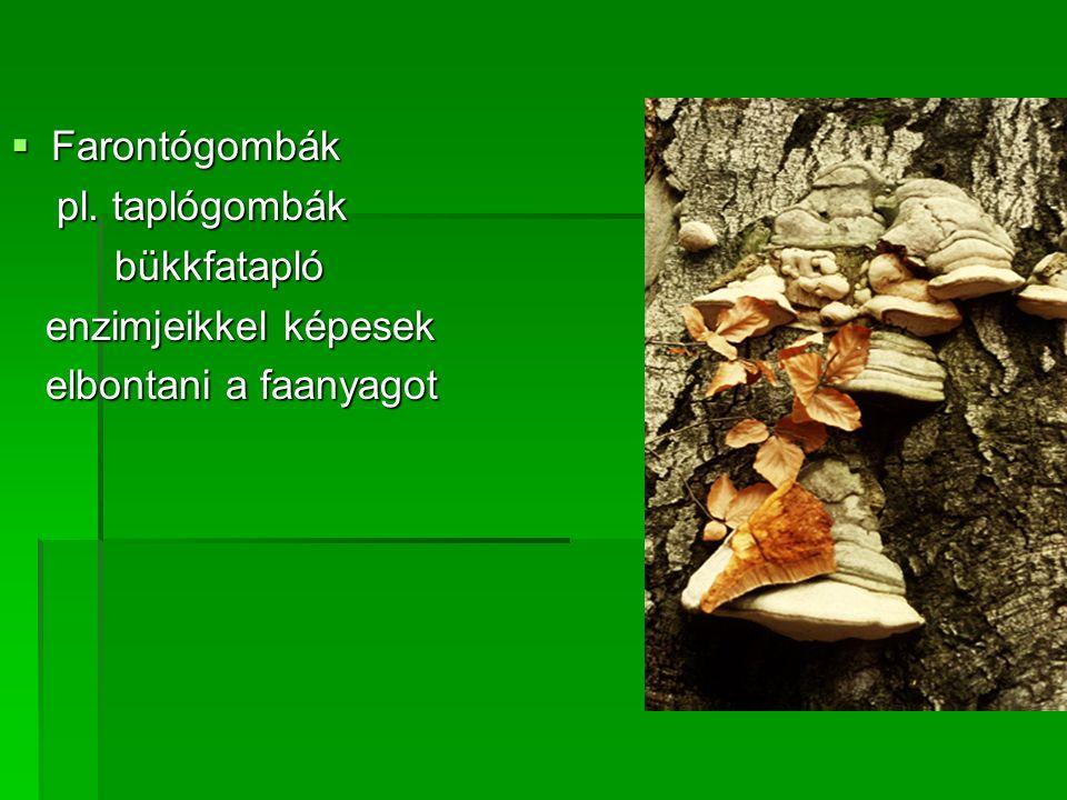 Farontógombák pl. taplógombák pl. taplógombák bükkfatapló bükkfatapló enzimjeikkel képesek enzimjeikkel képesek elbontani a faanyagot elbontani a fa